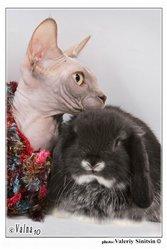 декоративные кролики: карликовый баран из Долина КроСава.