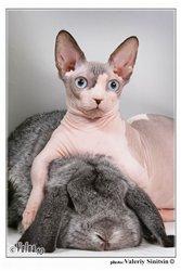 декоративные кролики: карликовый баран из питомника Долина КроСава.