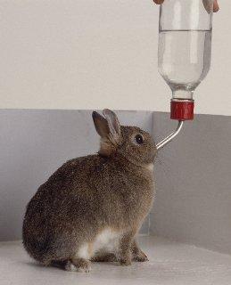 карликовые кролики, кролик пьёт с поилки