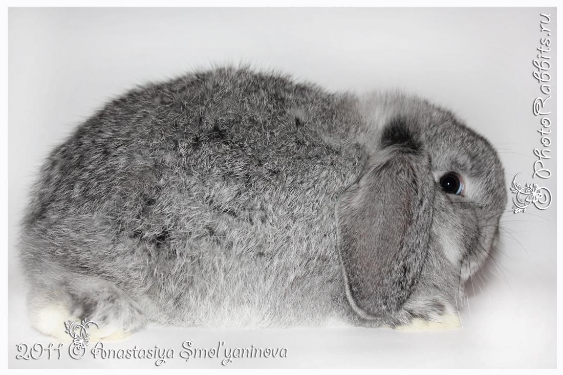 карликовые кролики: окрас шиншилловый